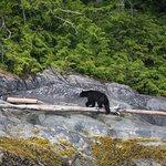 Black bear which had swum between islands