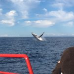 """A large adult breaching on the """"Humpback Highway"""""""