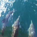 A pod of dolphins that joined us for a ride!
