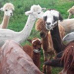 Las simpáticas alpacas