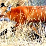 Red fox out for a stroll.