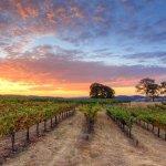 vineyard during harvest
