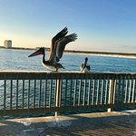 Pelicans at Gulf State Park Fishing and Education Pier