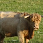 Beautiful Highland Cattle at Lismore House B&B