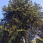 giant monkey puzzle tree