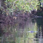 Alligator along the way