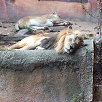 Lions in Repose