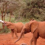Feeding baby elephants ( a special formula that keeps the actual fat content of real elephant mo