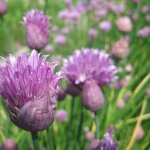 Chive flowers - chef's garden
