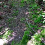 Moss growing on the hiking trail.