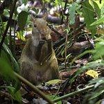 An agouti eating--Manuel Antonio National Park, Costa Rica, June 2017