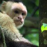Capuchin monkey--Manuel Antonio National Park, Costa Rica, June 2017