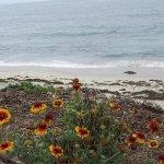 Flowers Growing Near Windansea Beach
