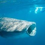 PHANTOM DIVERS WHALE SHARK ENCOUNTER