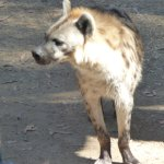 I had never seen a hyena in the flesh before. This fellow is about 2 feet tall at the shoulder.