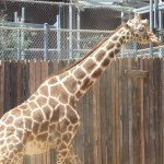 A 20-foot tall animal is really impressive. The Oakland zoo has about a half dozen giraffes.