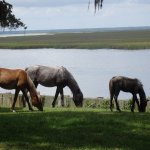 Cumberland Is. wild horses