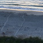 Tracks from turtles which came ashore to lay their eggs.