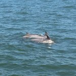 Dolphins of coast of Cape May