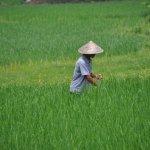 Rice fields near Yangshou