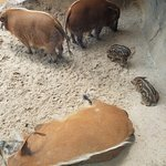 Red River hogs and babies!