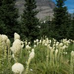 We were fortunate to see bear grass during our visit! It only blooms every 3-5 yrs
