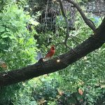 A Red Cardinal we saw whist having breakfast. Apologies to any Americans that may know different