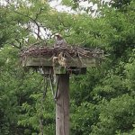 The osprey nest as viewed from the top deck lookout.