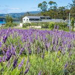 Port Arthur Lavender