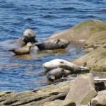 The seals sunbathing next to the pebble beach (view from the lookout near amphitheatre)