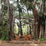 Beautiful Banyan Tree at Center Guesthouse