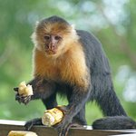 Squirrel monkey on the middle terrace