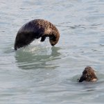 Sea Otters fishing? or playing?