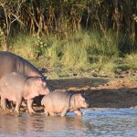 Hippos seen from the river boat cruise...