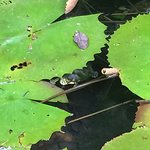 hiding under a lily pad