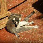 Lemure, der sich sonnt