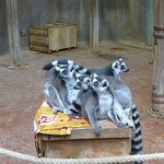 Viele Lemuren