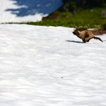 A marmot darts across a snowfield on the Paradise Loop trail.