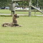 The baby camel