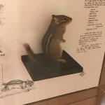 Chipmunk in Museum at Sugarlands Visitors Center