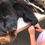 Bear Pelt with Claws at Sugarlands Visitors Center
