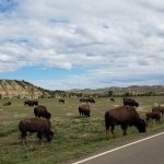 Hundreds of bison