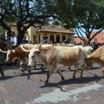 A cattle drive goes down the main street twice a day.