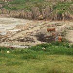 Highland cows on beach!