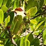 Green tree ant nest