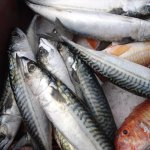 Mackerel & red mullet from the daily fish auctions at Looe
