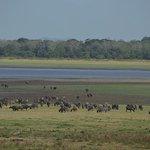 Bufalos pastando