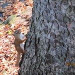 Red squirrel lives in trees around deck, but does not beg or annoy anyone.
