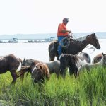 Cowboy rounding up ponies after swim