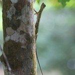 Common Flying Lizard, Mulu